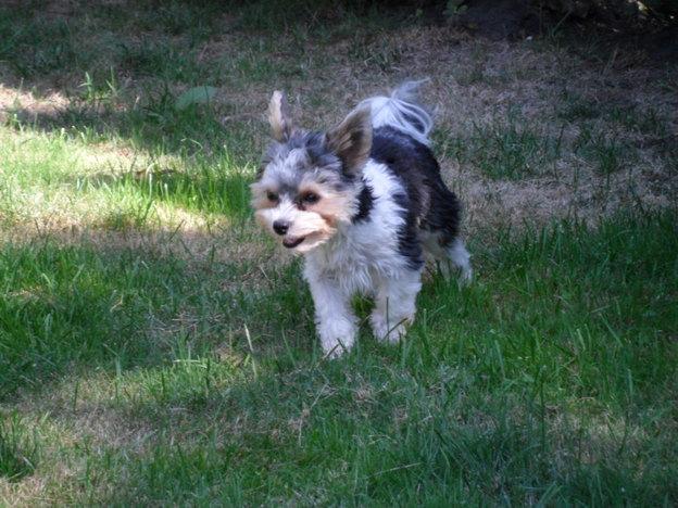 Im Unterschied zum Yorki tragen Biewer Terrier ein schwarz-weiß-goldenes Fellkleid.