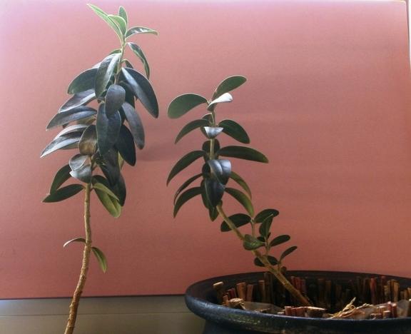 Die Pflanzen wachsen zum Licht und werden krumm.