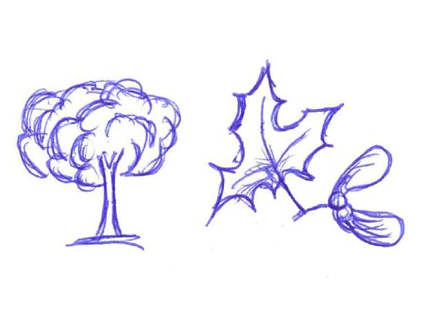 Der Ahorn bildet gefurchte Blätter.