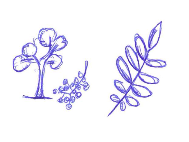 Die Blätter der Eberesche sind paarweise angeordnet.