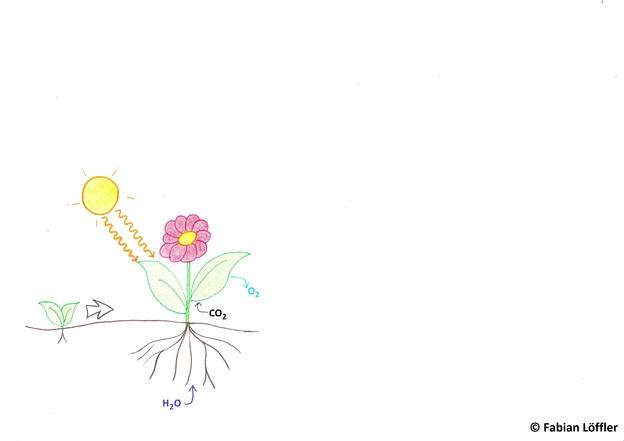 Für die Photosynthese braucht es Licht, Wasser und CO2, O2 wird abgegeben.
