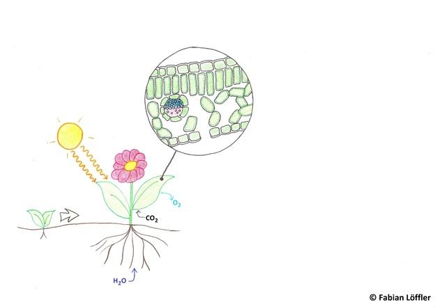 Die Photosynthese findet in den Blättern statt.