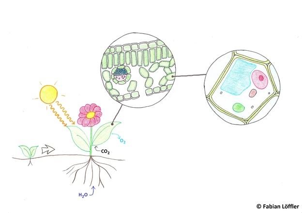 In den Pflanzenzellen befinden sich Zellorganelle.