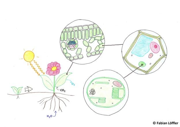 Chloroplasten waren früher, so glauben Wissenschaftler, eigenständige Zellen.