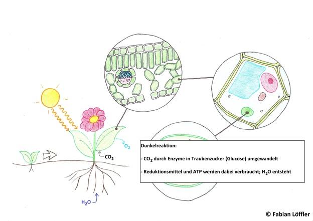Im Calvin-Zyklus wird CO2 zu Glucose umgebaut.
