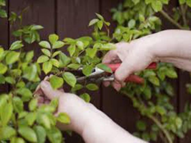 Mit einer Gartenschere kürzen Sie die Triebe.