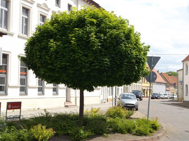 Der Kugelahorn wird auch sehr gern im Stadtgebiet angepflanzt.