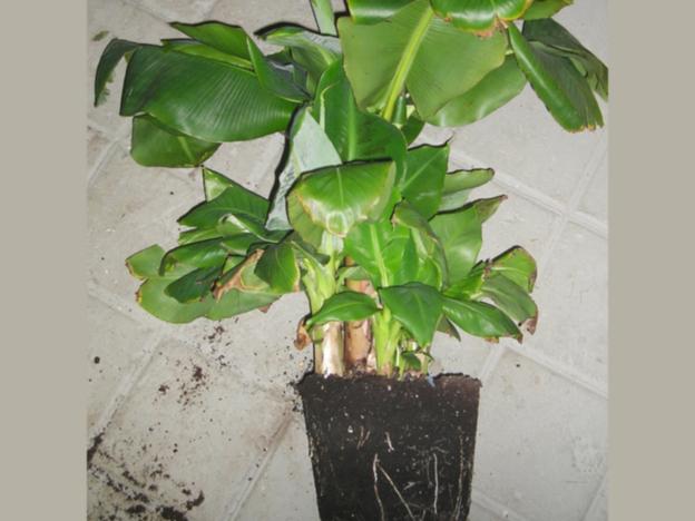 Das Kindel in einen ausreichend großen Topf einpflanzen.
