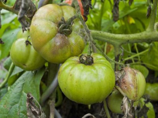 Tomatenkrankheit entwickeln sich bei zu großer Luftfeuchtigkeit und Nässe.
