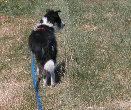 Hund läuft locker an der Leine.