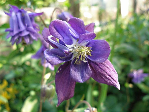 Akelei begeistert mit der besonderen Blütenform.