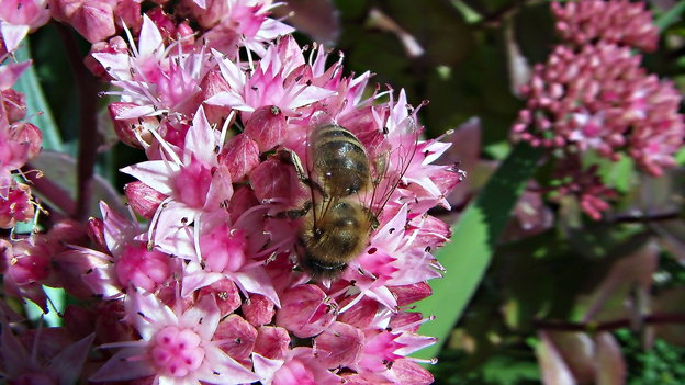 Die Fetthenne ist ein Paradies für <a class='inlinelink' href='/garten/insekten-2041'>Insekten</a>.