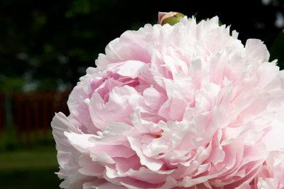 Pfingstrosen blühen jedes Jahr fleißiger.