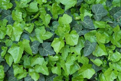 Efeu wird oft verwendet für Zaunbegrünung.