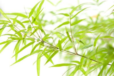 Bambus gehört zu den Gräsern.