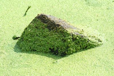 So vernichten Sie Algen im Teich.