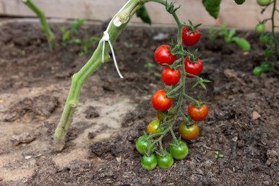 Tomaten wachsen gut auf dem Balkon.