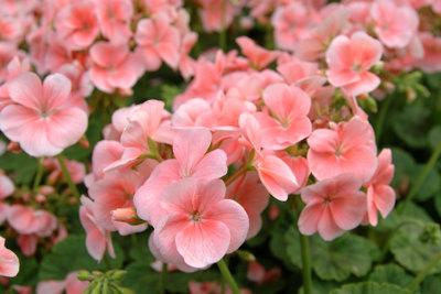 Geranien gedeihen bestens im Blumenkasten.