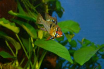 Aquariumpflege lässt Ihre Fische länger leben.