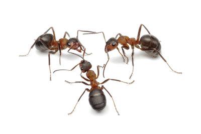 Ameisen im Haus sind lästig.