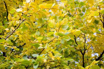 Die Goldulme hat gelbe Blätter.