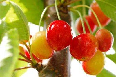 Rapsöl befreit Obstbäume von schädlichen Insekten.