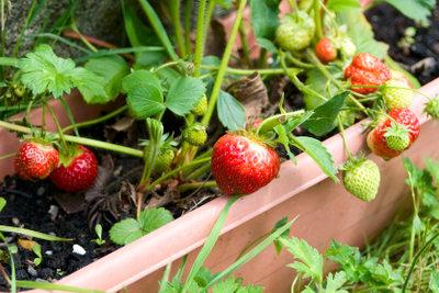 Erdbeeren frisch aus dem Topf pflücken