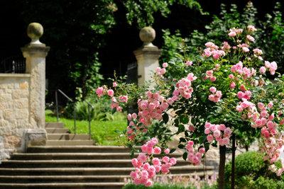 Rosenhochstämmchen sind Einzelgänger.
