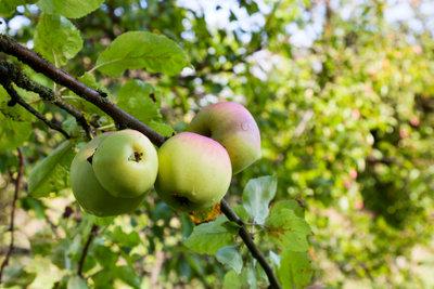 Wichtig: Regelmäßiger Beschnitt von Obstbäumen!