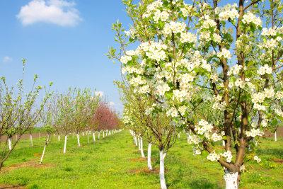 Apfelbäume in der Blüte