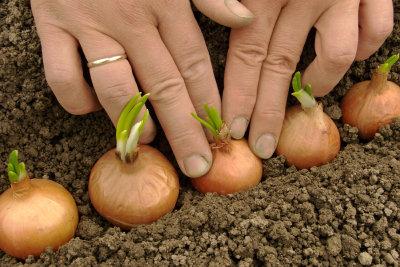 Mit Steckzwiebeln ist das Pflanzen einfach.