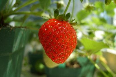 Erdbeeren aus eigener Aussaat schmecken doppelt so gut.