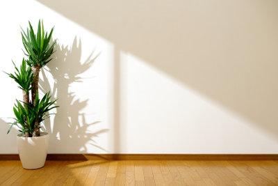 Eine Yukka braucht viel Licht.