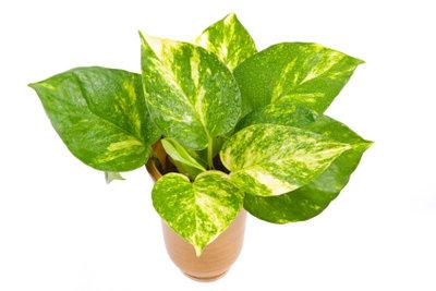 Thripse sitzen bevorzugt auf den Blattunterseiten!