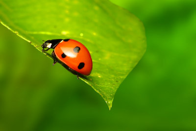 Eine Marienkäferplage kann auf natürliche Weise bekämpft werden.