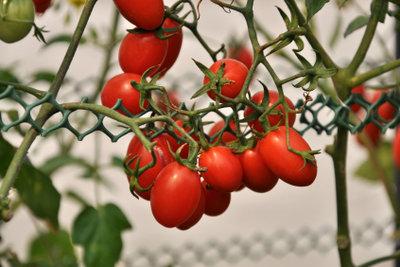 Reichlich Fruchtansatz gelingt durch Ausgeizen.