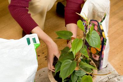 Zimmerpflanzen sollten Sie vorsichtig umtopfen.