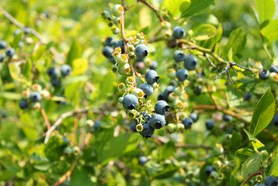 Heidelbeerpflanzen haben spezielle Bodenansprüche.