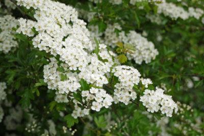 Weißdorn - so schön können Heckenpflanzen blühen.