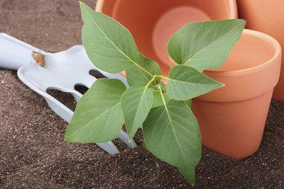Flieder lässt sich optimal mit Stecklingen vermehren.