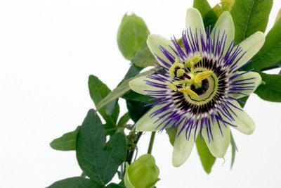 """Eine robustere Sorte: Die """"Blaue Passionsblume"""""""