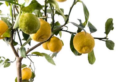 Bei guter Pflege gedeiht ein Zitronenbaum auch in Ihrem Zuhause.