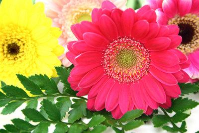 Die Gerbera ist eine beliebte Floristenpflanze.