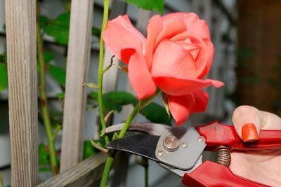 Rosen sind die Zierde jedes Gartens.