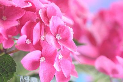 Damit die Hortensie so schön blüht, müssen die Bedingungen stimmen.