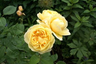 Die Rose - Königin des Gartens.