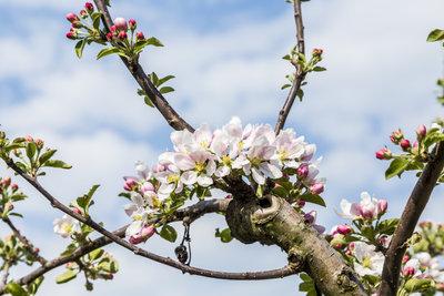 Blühende Obstbäume sollten durch ein Vogelnetz geschützt werden.