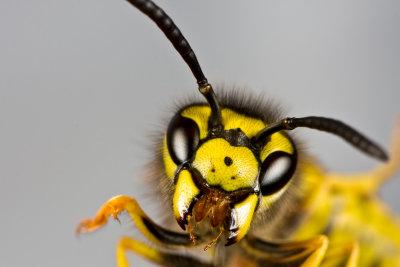 Hornissenstich - weniger gefährlich als ein Bienenstich.