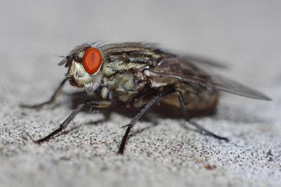 Eine Fliegenplage lässt sich schnell bekämpfen.