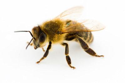 Eine Zwiebel hilft gegen Bienenstiche.